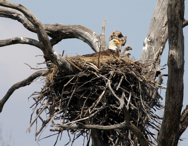 Bald Eagle Nest - photo by Michael Watkins